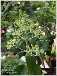 Hydrangea paniculata - Garden Diary