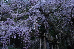 龍の桜~某所・龍の渕にて~ - 拙者の写真修行小屋