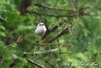 北の大地 遠征1日目 会いたかった♪「シマエナガ」さん~Σ^) - ケンケン&ミントの鳥撮りLifeⅡ