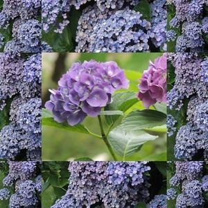 紫陽花で遊ぶ - ベルバーンに魅せられて