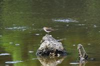 イソシギの飛び出しを撮る・・・葛西臨海公園 - 『私のデジタル写真眼』