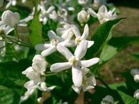 草橘(クサタチバナ) - 花の仲間調べ