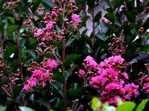 庭の百日紅の花 - 小さな感動