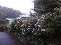 紫陽花 サイコパス - シニアMasakoの日々