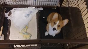 コーギーだより - さいたま・動物病院-そよかぜ動物病院のブログ