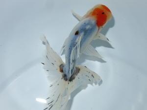 6月27日新着金魚のご紹介です。 - フルタニ金魚倶楽部blog