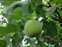 りんご・・・です。 - 嵐山ハイブリッド美術館日記