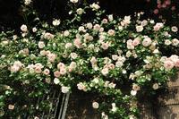 5月26日② 雨後のニュードーン模様&#9825 - Reon&Roses+Lara