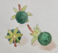 #植物スケッチ 『タブノキの果実』 - スケッチ感察ノート