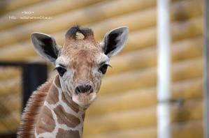 赤ちゃんキリンに会いに - 動物園でお散歩