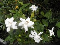 庭の花~くちなし~ - カフェ・スナック あや