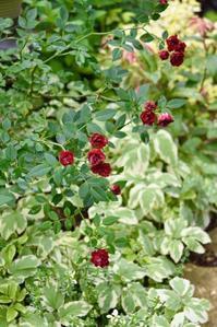 薔薇 レッドキャスケード - 小さな庭 2