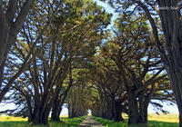Tree Tunnel, San Francisco North Bay ツリートンネルで - teddy blue