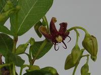 小葉の鴎蔓(コバノカモメヅル) - 新・四季の花