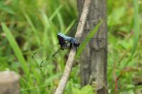 ■ オオシオカラトンボの産卵行動   17.6.27 - 舞岡公園の自然2