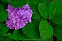 いつかの紫陽花 - りゅう太のあしあと
