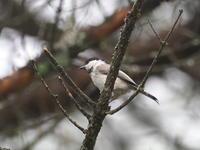 霧に霞むコガラとヒガラ - コーヒー党の野鳥と自然 パート2