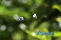 ヒロオビミドリシジミ - きまぐれに蝶・トンボ