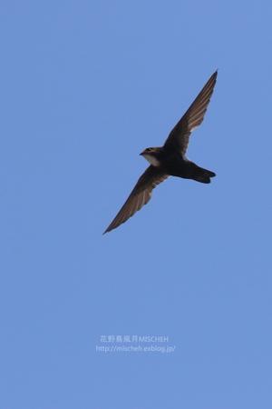 燕特集④ノンストップなヒメアマツバメ - 花野鳥風月MISCHEH
