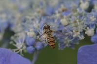 ●● お花畑を独り占め・・・・・・・・ホソヒラタアブ・メス ●● - kameのフォトブック2