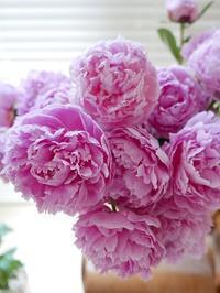 満開の芍薬 - la fleur ラ・フルール