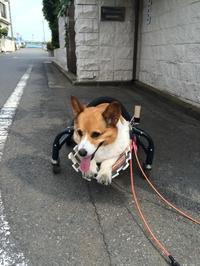 カフェの車椅子 - 愛犬カフェの出産記