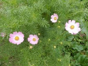 コスモス咲く - 雑多な豆2