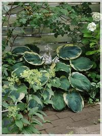 """Hosta """"Frances Williams"""" - Garden Diary"""