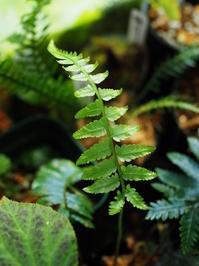 ディプラジウム・トメントーサム #2 - Blog: Living Tropically