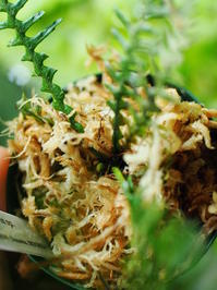 オオクボシダの1種(シボルガ東部産) #2 - Blog: Living Tropically