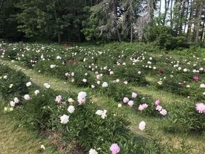 Peony Garden (ピオニーガーデン) - ファルマウスミー