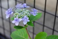 紫陽花とフェンス - 花と風景 Photo blog