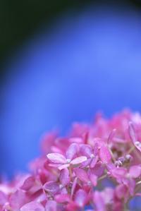 紫陽花のような人 - 「美は観る者の眼の中にある」