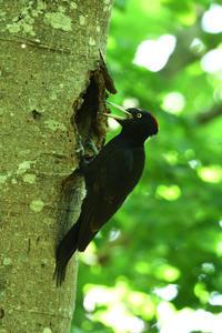 クマゲラ(Black woodpecker)/2017.06 - Birding