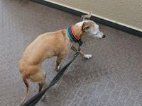 ルビりんは散歩に行く気マンマンだけど…雨。 - イタグレ ルビーの日記  Ruby Tuesday
