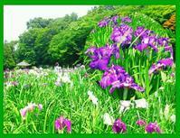 オカリナのある風景🎵満開の花菖蒲と森の小径(こみち) - グリーンノート マクロビカフェ&土の音(オカリナ工房)