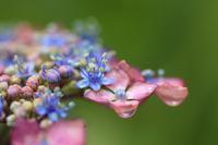 雨の日の紫陽花♪ - happy-cafe*vol.2