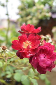 バラ カーディナルヒュームとイカリソウ - 小さな庭 2