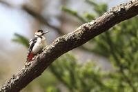 赤啄木鳥(アカゲラ)♪ - 君の瞳に恋してる♪