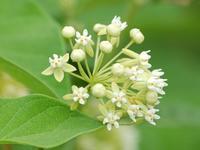 イケマ - 新・四季の花