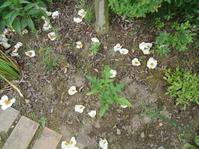 ナツツバキ、毎朝花拾い。 - とりとめのない日々~花と言葉と犬たちと