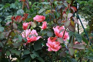 朝、挨拶をする花々~コンカドール、サンセット・グロウ~ - 成長する家つれづれ日記