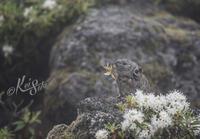 2017年 初夏のナキウサギ 望岳台にて - 写真家 佐藤 圭 魂の叫び/北海道道北の自然と留萌の夕陽