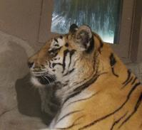 6月25日の円山動物園跳ぶユキヒョウ、アフリカゾーン - 黄金絹毛鼠(コガネキヌゲネズミ)