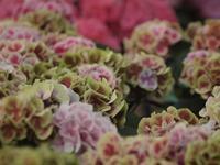 『フラワーパーク板取の紫陽花とアジサイ街道に咲く紫陽花達・・・・・』 - 自然風の自然風だより
