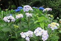 紫陽花の季節 その他の紫陽花たち  - 仏師 金丸悦朗の挑戦