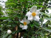沙羅の木 - ろりぽりの花