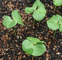 綿花を植える - bitebyyourskin