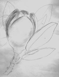 泰山木の蕾 - 陰翳の煌き