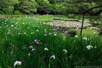 平安神宮の花菖蒲と睡蓮 - ぴんぼけふぉとぶろぐ2